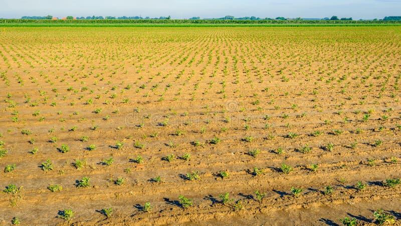 Vor kurzem gepflanzte Sellerieanlagen in den Reihen stockbild
