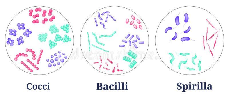 Vorbereitungen für bakteriellen Mikroorganismus in Petrischale vektor abbildung