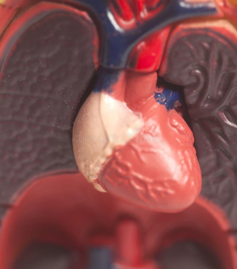 Vorbildlicher menschlicher Körper mit den Lungen und Herzen stockfotos