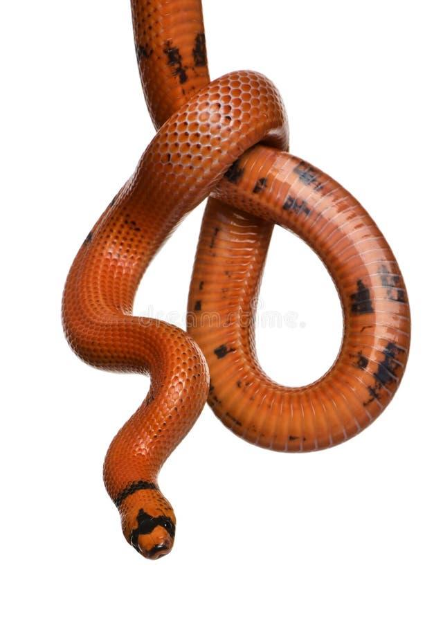 Vorderansicht der honduranischen Milchschlange, hängend stockbilder