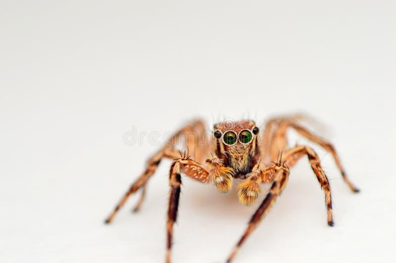 Vorderansicht der männlichen springenden Spinne, Plexippus-petersi, Satara, Maharashtra, Indien lizenzfreie stockfotos