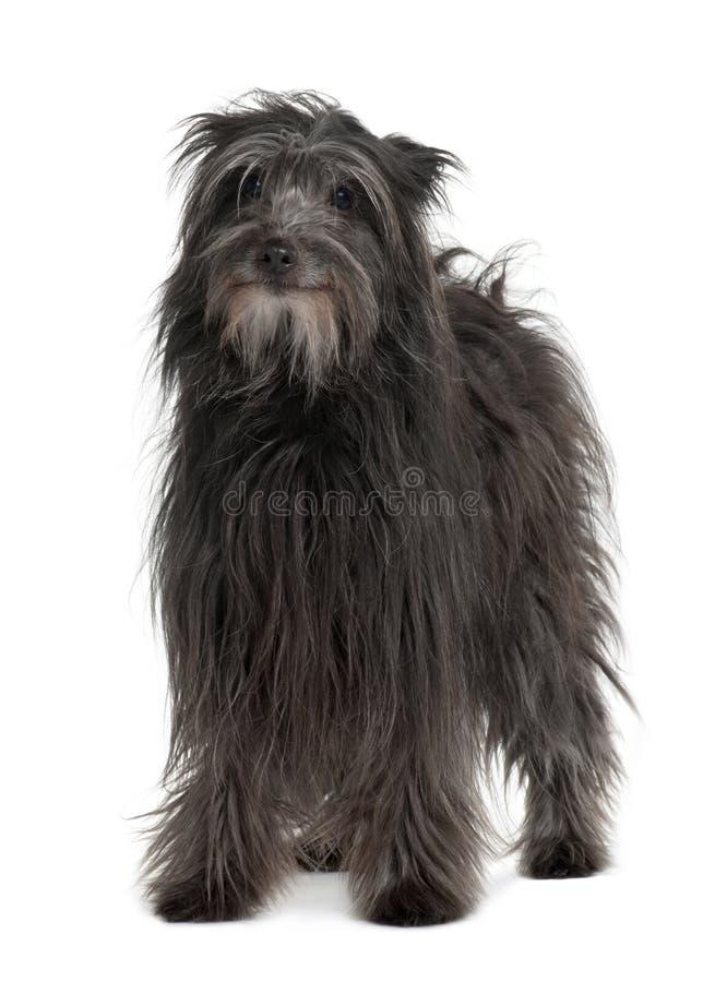 Vorderansicht der Pyrenean Schäferhundhundestellung lizenzfreie stockfotografie