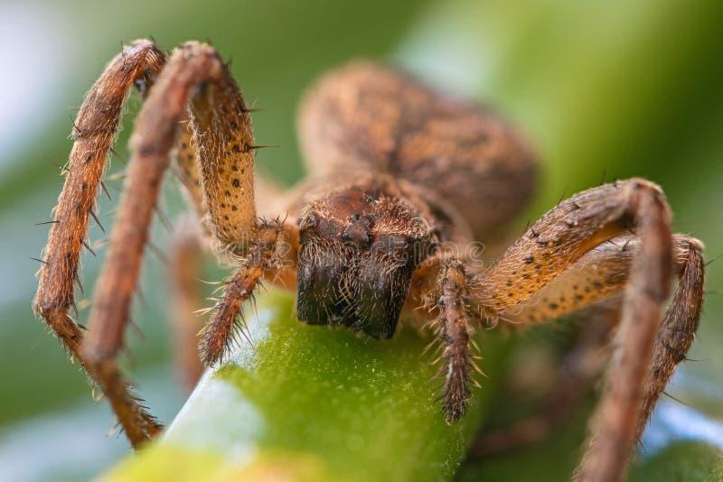Vorderansicht des Spinnenmakroschusses stockbild