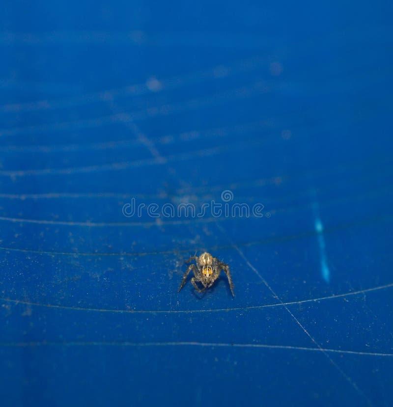 Vorderansicht einer kleinen Babygrasspinne auf blauem Hintergrund stockbilder