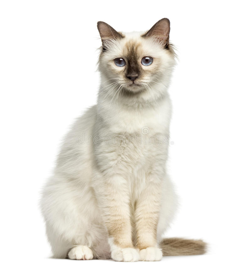 Vorderansicht eines Birman-Katzensitzens lizenzfreie stockbilder