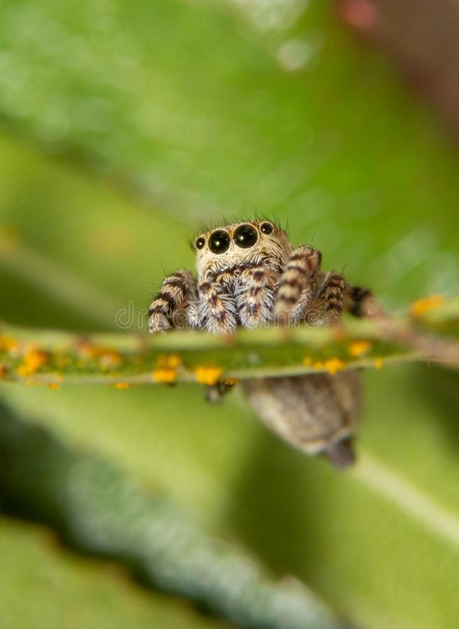 Vorderansicht eines kleinen gepfefferten Pullovers, Pelegrina-galathea Spinne lizenzfreies stockfoto