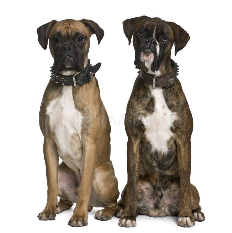 Vorderansicht von zwei Boxerhunden, sitzend lizenzfreies stockfoto