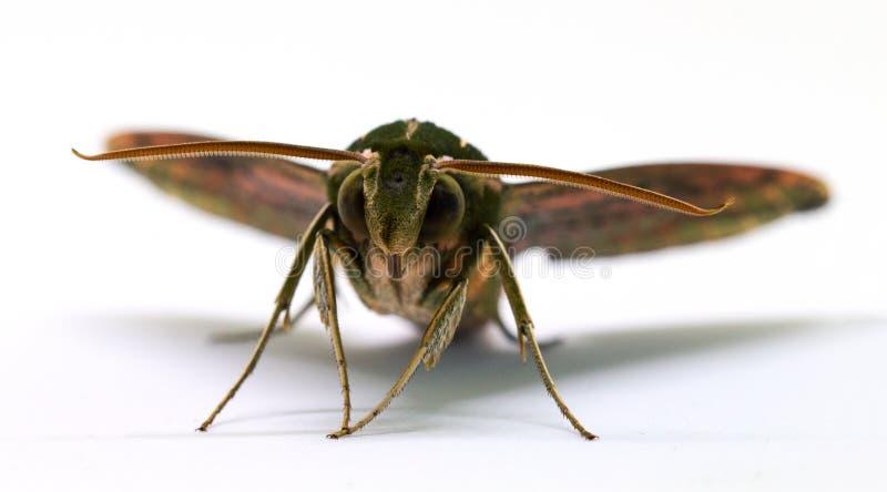 Vorderansichtmakrofoto der Brown-Falkemotte auf Weiß Erwachsene Sphingidaeschmetterlingsatelieraufnahme stockfoto