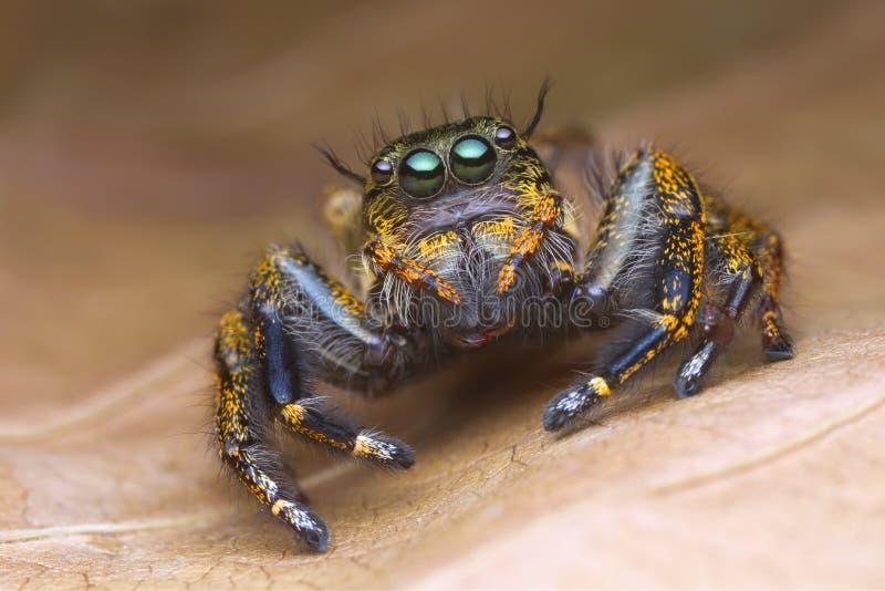 Vorderansichtporträt mit extremen vergrößerten Details der bunten springenden Spinne mit braunem Blatthintergrund stockbild