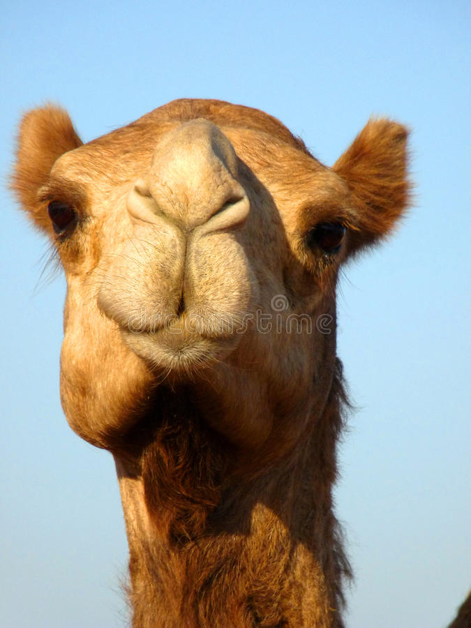 Vordere Gesichts-arabisches Kamel-Kopf-Nahaufnahme lizenzfreie stockfotos