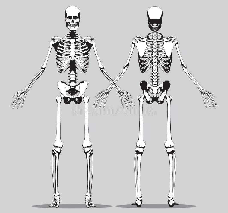 Vordere und hintere Ansicht eines menschlichen Skeletts stock abbildung