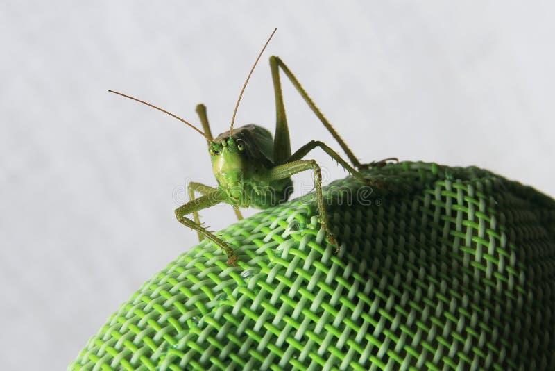 Vorderer Abschluss herauf Bild einer Heuschrecke, die auf einer grünen synthetischen Rückseite eines Stuhls sitzt stockfoto