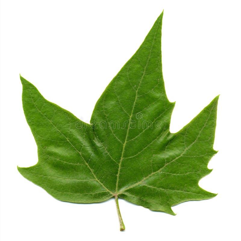 Vorderseite des flachen (Platanus) Baumblattes lokalisiert über Weiß lizenzfreies stockbild