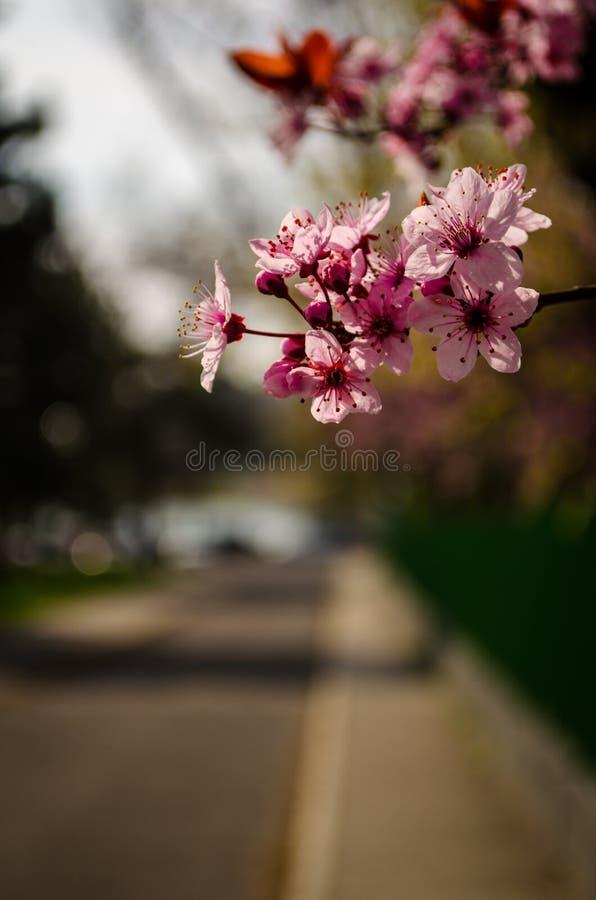Vorfrühling Cherry Blossom Near Lake stockbilder