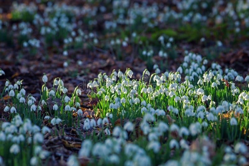 Vorfrühlings-Schneeglöckchen-Blumen im Wald lizenzfreies stockfoto