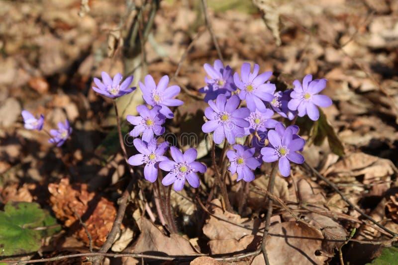 Vorfrühlingsblume Hepatica-nobilis stockfotografie