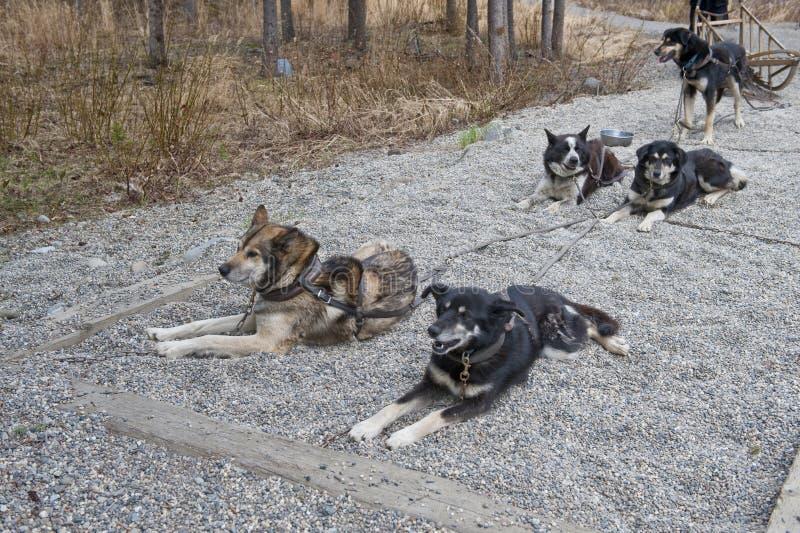Vorgespannte Schlittenhunde stockfoto