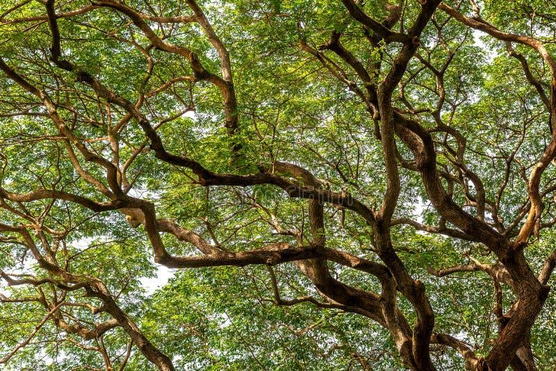 Vorm van banyan boomtak met groen blad voor natuurlijke achtergrondmateriaal royalty-vrije stock foto