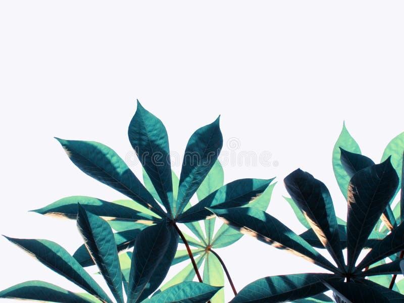 Vormen en motieven de maniokbladeren zijn prachtig gekleurd met licht en de schaduwen isoleren op witte achtergrond stock foto