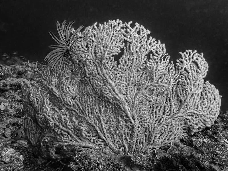 Vormen en texturen in Gorgonian-Ventilator Coral Black en Wit met Veerster stock foto's