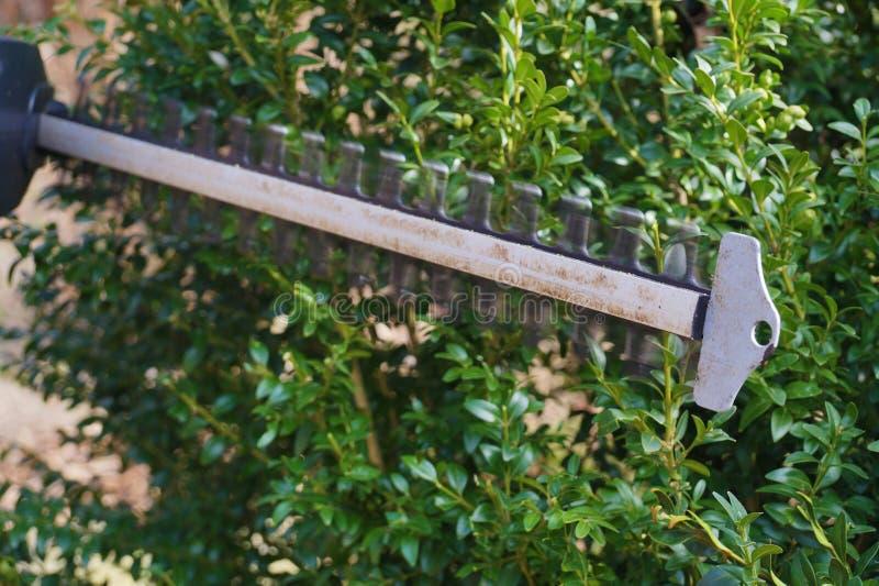 Vorming van bukshoutstruik Haag het in orde maken met elektrische schaar stock fotografie