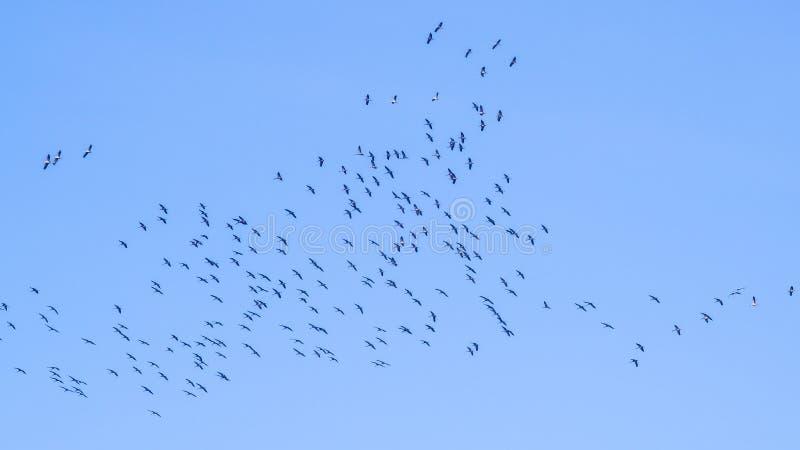 Vormingsvlucht, migratievogels, vliegende gans stock foto's