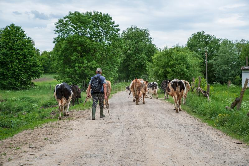 Voroblevychi village, Drohobych district, Western Ukraine - April 14, 2019 Shepherd leads herd of cows home from the pasture royalty free stock photos