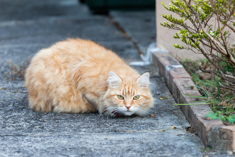 Vorsichtige Ingwertabby-Katze auf dem Bürgersteig stockfotos