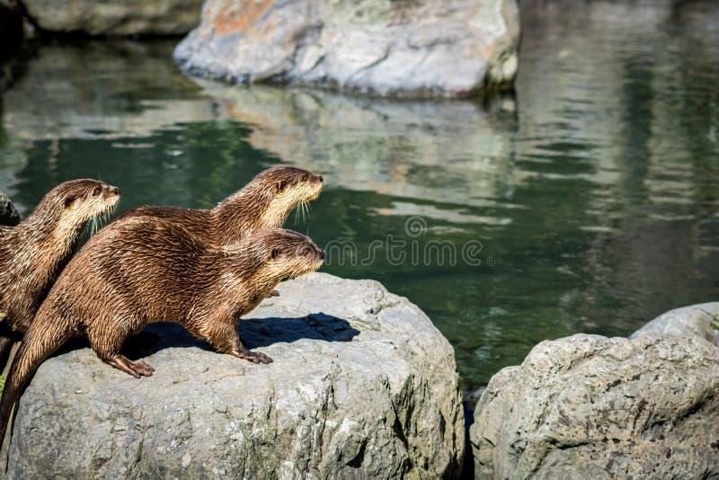 Vorsichtige Otter, die zusammen in Fluss stehen lizenzfreie stockfotografie