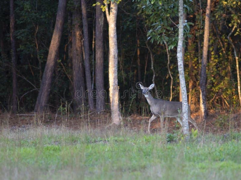 Vorsichtige Whitetaildamhirschkuh im North Carolina stockbild