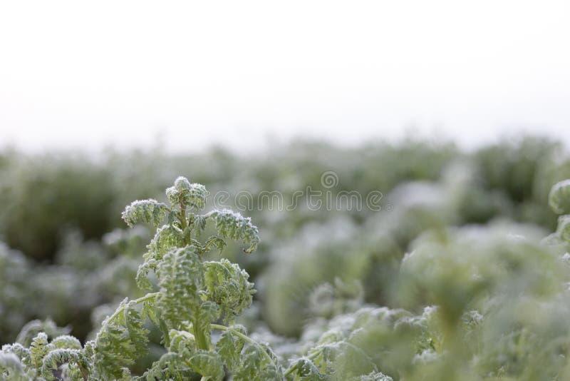 Vorst op het gebied, boerenkoolbladeren met vorst worden behandeld die royalty-vrije stock afbeeldingen