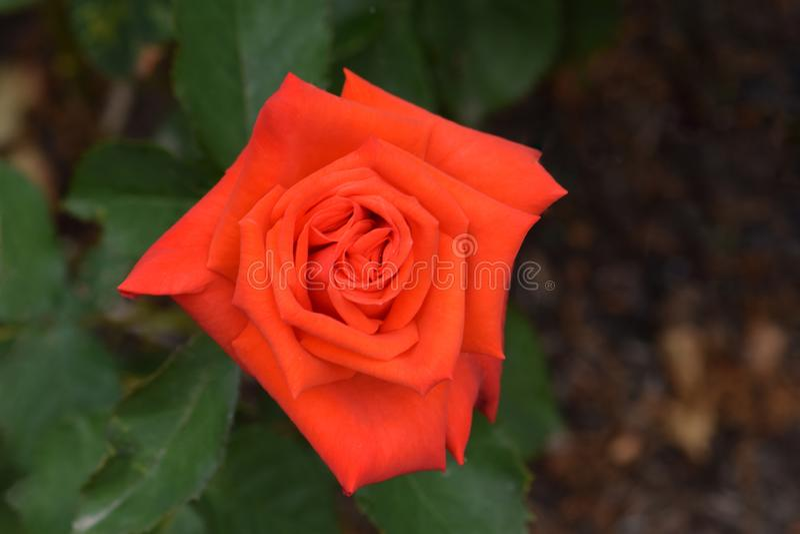 Vorstehende orange Rose Flower Closeup stockfotografie