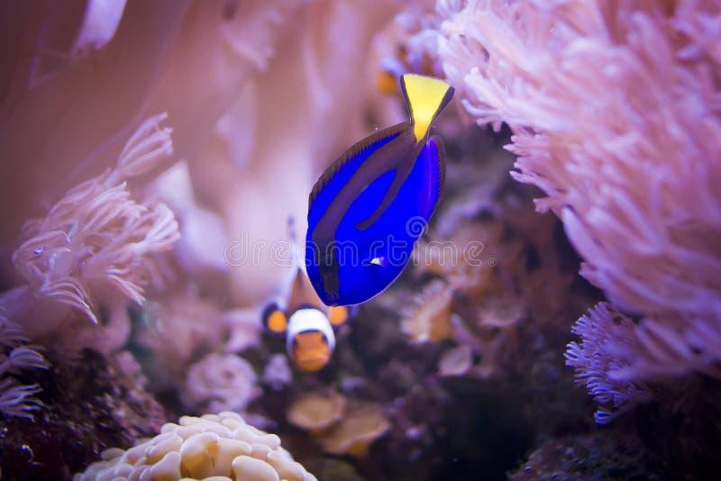Vorstelijk zweempje en clownfish stock fotografie