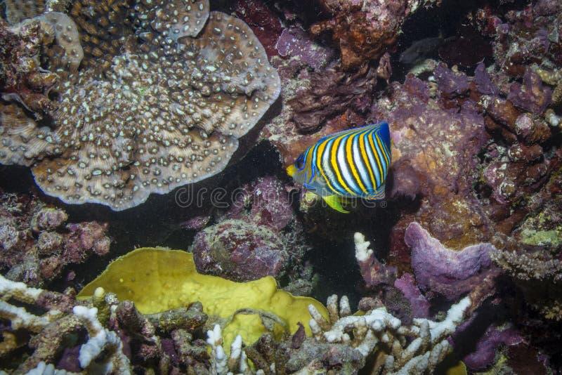 Vorstelijke Zeeëngel royalty-vrije stock foto's