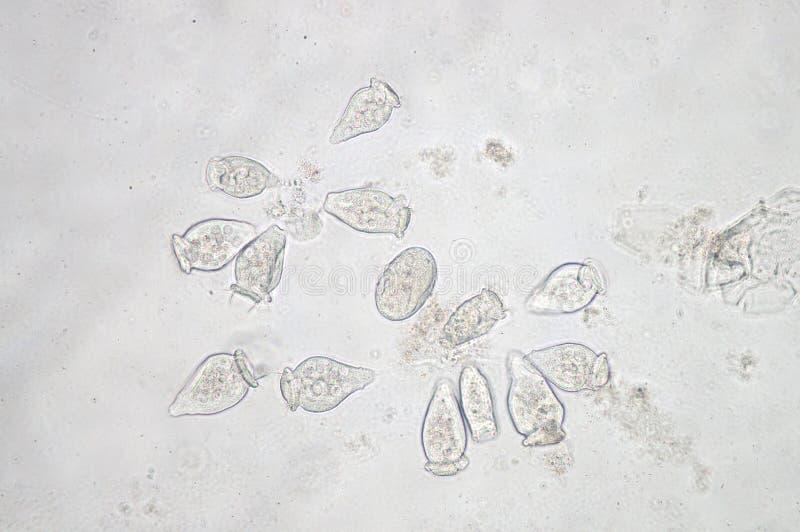 Vorticella род protozoan иллюстрация штока