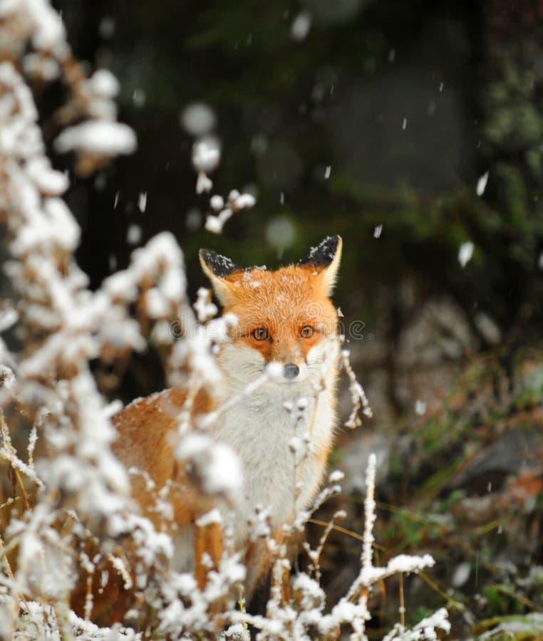 Vos In De Wintersneeuw Stock Foto