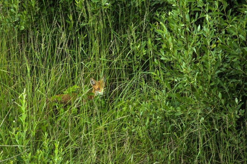 Vos in het groene lange gras royalty-vrije stock fotografie