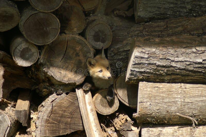 Vos in houten stapel stock fotografie