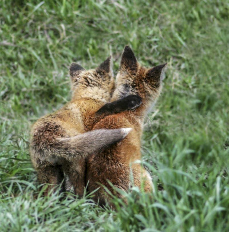 Vossiblings delen een het houden van omhelzing tijdens een actieve speeltijd en dichtbij onder het scherpe oog van hun moeder stock afbeeldingen