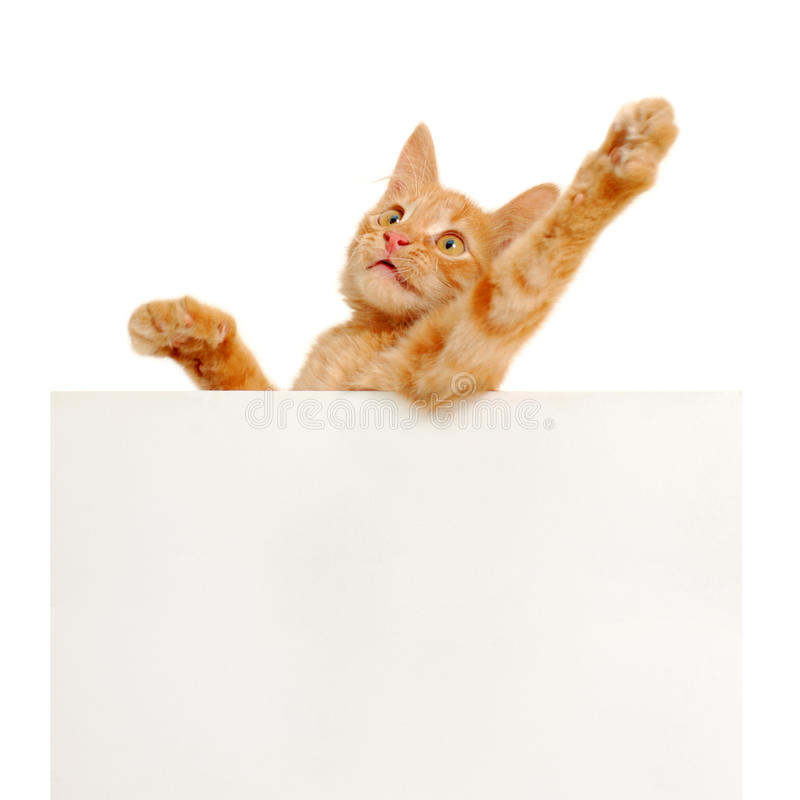 Vote for red cats!. Kitten holding blank banner isolated on white background stock photography