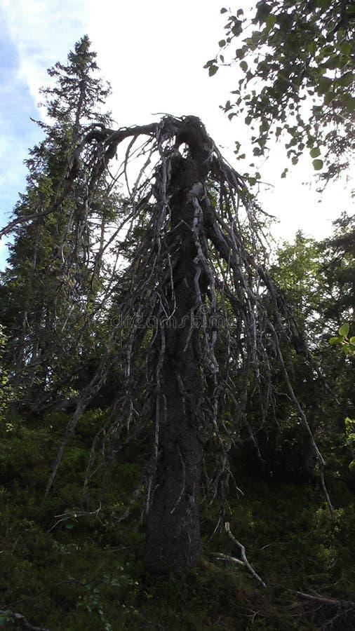 Vottovaara Karelië - enge wacht bij de ingang aan het Koninkrijk van dode en lelijke bomen en steen sades royalty-vrije stock afbeeldingen