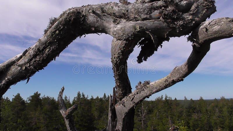 Vottovaara Karelië - lelijke boom royalty-vrije stock afbeelding