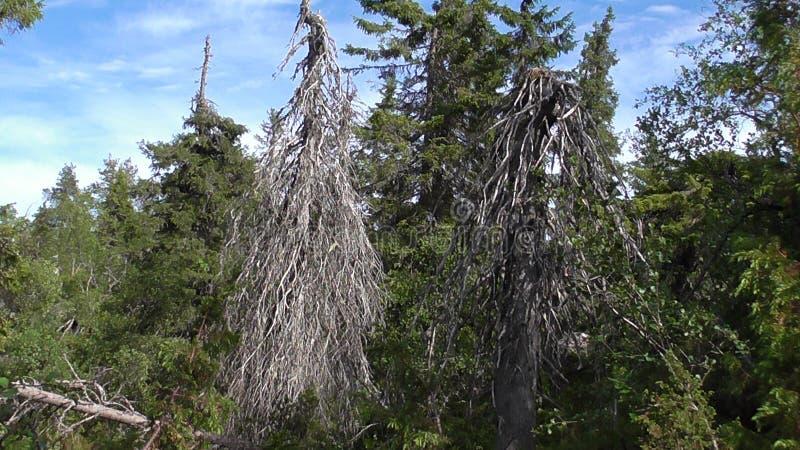 Vottovaara Karelië - Twee enge wachten bij de ingang aan het Koninkrijk van dode en lelijke bomen en steen sades royalty-vrije stock afbeeldingen