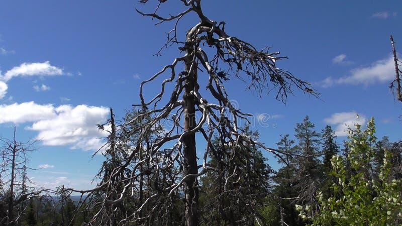Vottovaara Karelia - уродское дерево стоковое фото rf