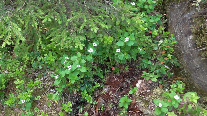 Vottovaara Karelia - flowers on the mountain. Abnormal mountain in Karelia, ugly trees, mystical landscapes. There are more than one and a half thousand stone royalty free stock photography