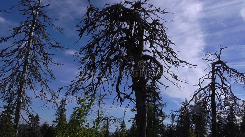 Vottovaara Karelia - fula träd royaltyfria bilder