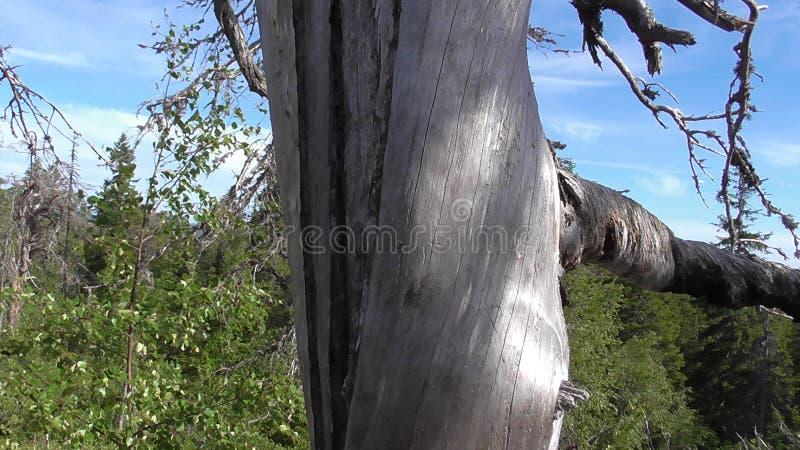 Vottovaara Karelia - fult träd med den vridna stammen och filialerna fotografering för bildbyråer