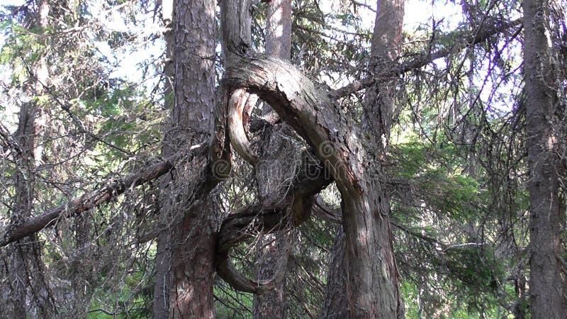 Vottovaara Karelia - fult träd som binds fnuren royaltyfri foto