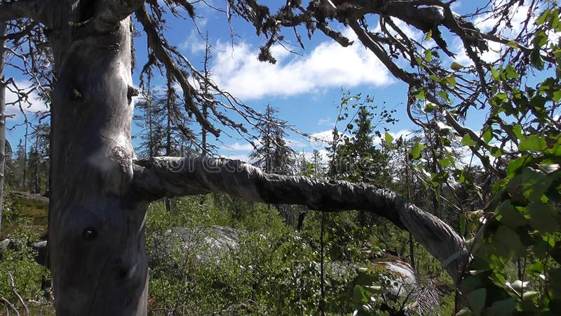 Vottovaara Karelia - tree with twisted twigs. Abnormal mountain in Karelia, ugly trees, mystical landscapes. There are more than one and a half thousand stone stock photo