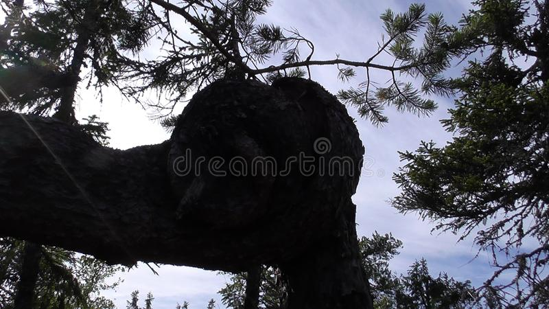 Vottovaara Karelia - ugly tree. Abnormal mountain in Karelia, ugly trees, mystical landscapes. There are more than one and a half thousand stone sades. The stock photo